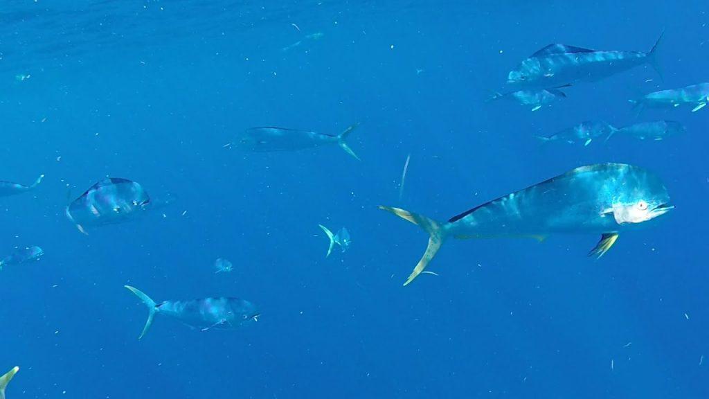 Mahi Mahi fish in puerto rico.